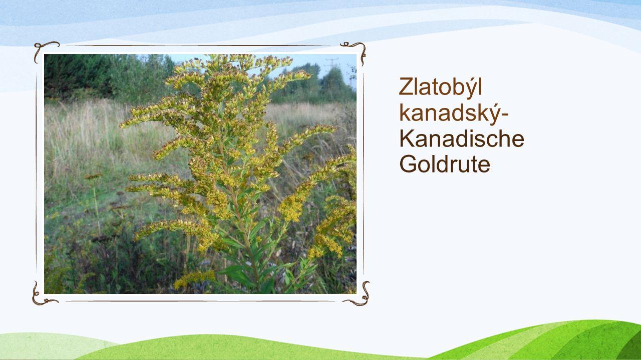 Zlatobýl kanadský- Kanadische Goldrute