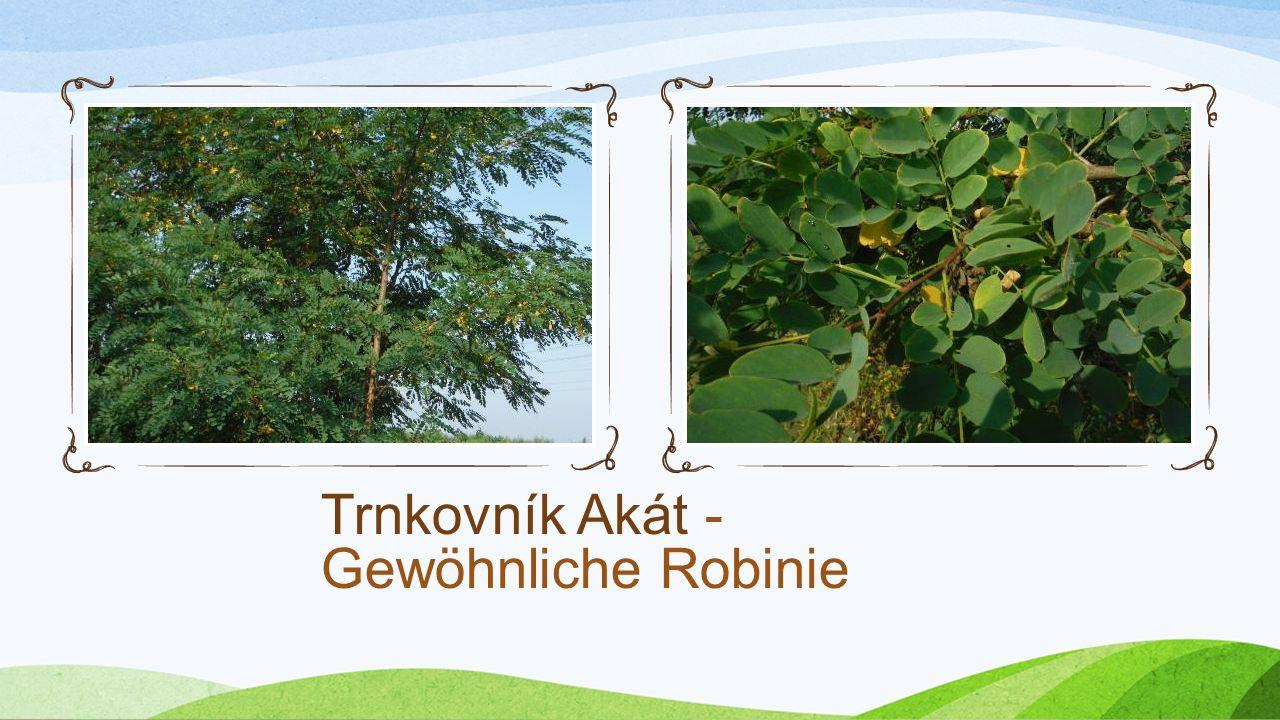 Trnkovník Akát - Gewöhnliche Robinie