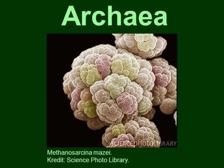Archaea Methanosarcina mazei. Kredit: Science Photo Library.
