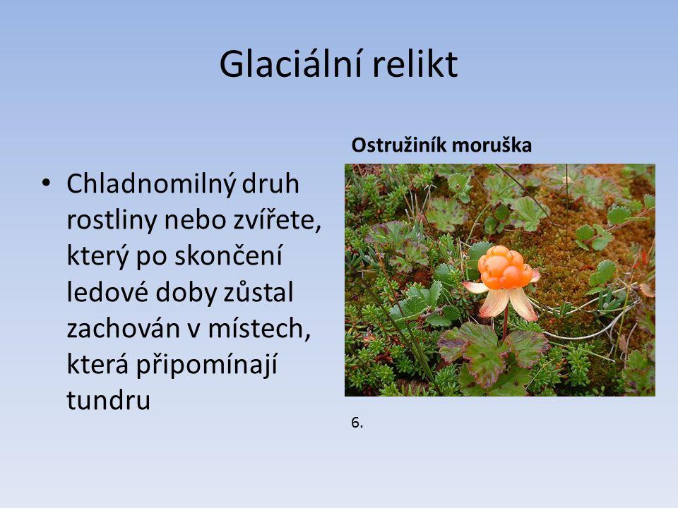 Glaciální relikt Chladnomilný druh rostliny nebo zvířete, který po skončení ledové doby zůstal zachován v místech, která připomínají tundru Ostružiník moruška 6.