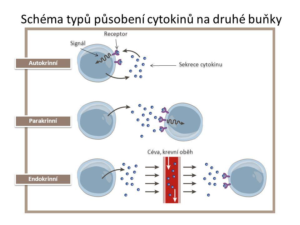 Cytokiny Hlavním producentem je určitá skupina buněk x mohou však být produkovány různými buňkami Vytvářejí funkční cytokinovou síť Jeden cytokin má často stimulační i tlumivý efekt Působí na více oblastí, vlastností – tzv.