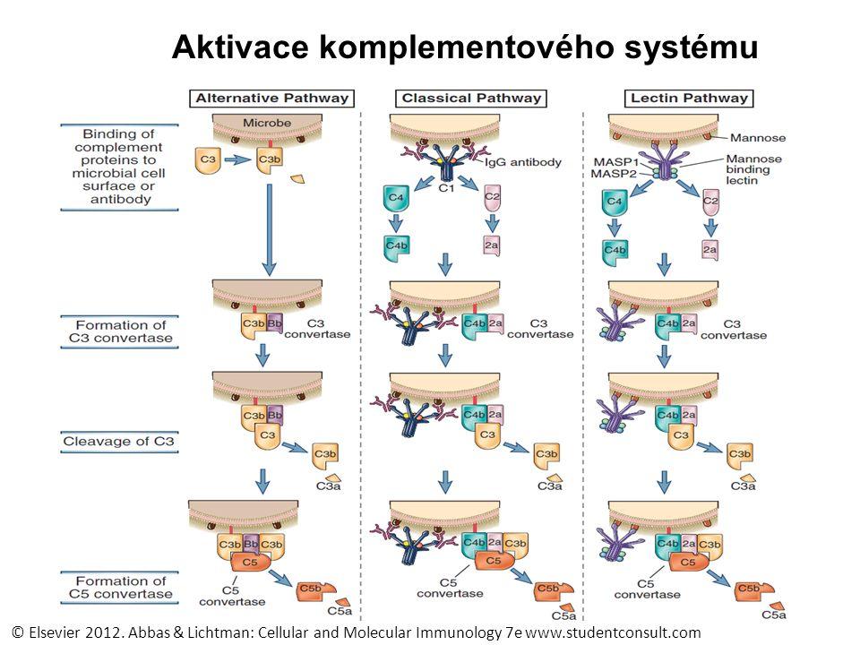 anafylaxe zánět, přitahování fagocytů C4a, C3a, C5a anafylaxe zánět, přitahování fagocytů C4a, C3a, C5a Lytická cesta Formace komplexu atakujícího membránu, lýza patogenu C5b, C6, C7, C8, C9 Lytická cesta Formace komplexu atakujícího membránu, lýza patogenu C5b, C6, C7, C8, C9 opsonizace fagocytóza C3b opsonizace fagocytóza C3b Alternativní cesta Spontánní aktivace C3 C3b Bf Factor D Bb Alternativní cesta Spontánní aktivace C3 C3b Bf Factor D Bb Lektinová cesta Vazba manózy MBL MASP-1 MASP-2 C4/C2 C4b/C2b Lektinová cesta Vazba manózy MBL MASP-1 MASP-2 C4/C2 C4b/C2b Klasická cesta Vazba protilátek C1q/r 2 /s 2 C4/C2 C4b/C2b Klasická cesta Vazba protilátek C1q/r 2 /s 2 C4/C2 C4b/C2b C3 convertáza C3C3a + C3b C3 convertáza C3C3a + C3b C3b/Bb C4b/C2b C5 convertase C5C5b Komplementový systém