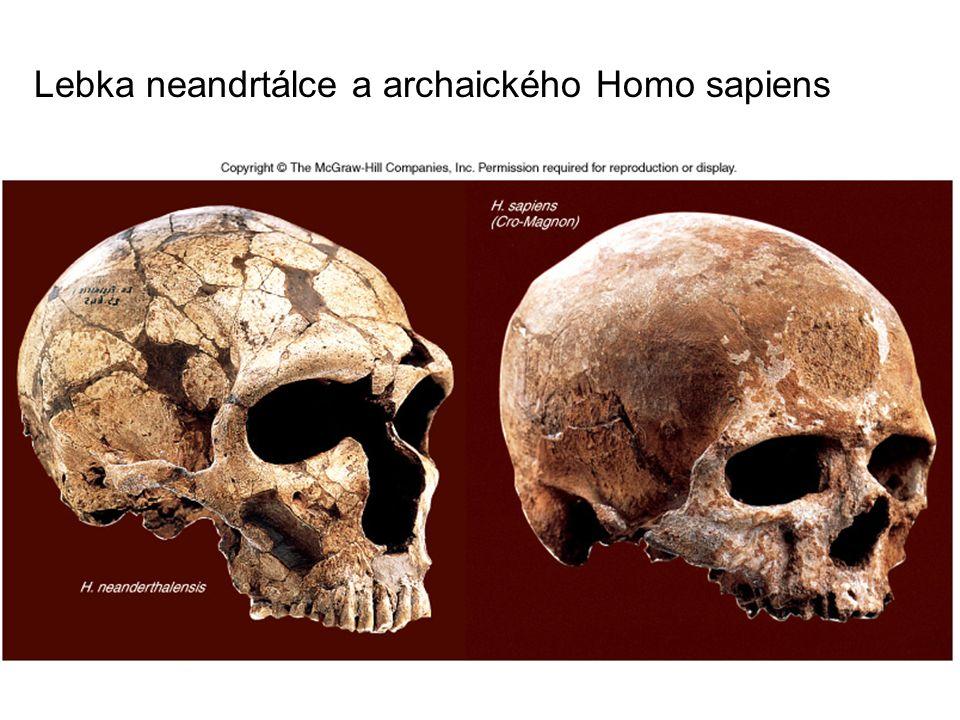 Přehled vývoje člověka a hominidů Australopithecus afarensis (3,6 – 2,8 mil.