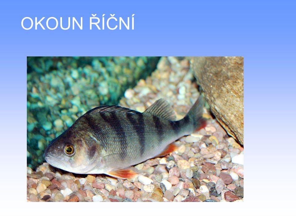 DRUHY SLADKOVODNÍCH RYB Lín obecný – žije ve stojatých nebo mírně tekoucích vodách Tělo olivově zelené barvy je pokryto množstvím drobných šupin a typickým šlemem V koutcích tlamy jsou 2 vousy Nejčastěji se používají kusy o hmotnosti 600–800 g, je to menší ryba s měkkým, tučným a chutným masem
