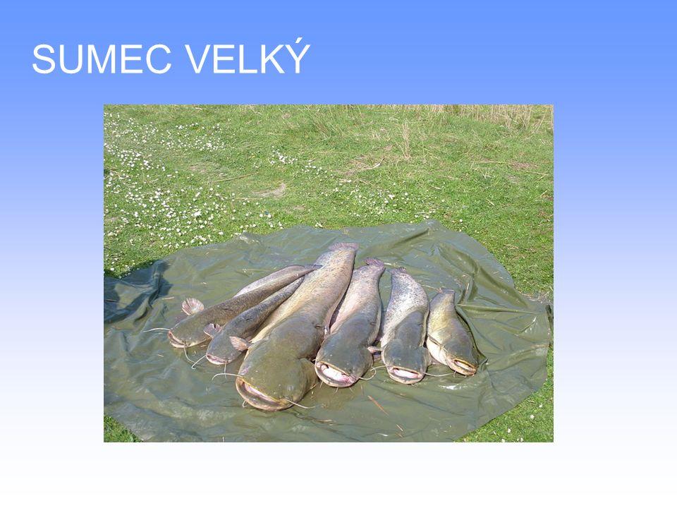 DRUHY SLADKOVODNÍCH RYB Pstruh potoční – je drobná lososovitá ryba, žije v chladných a prudkých vodách potoků a řek v celé Evropě Dorůstá až 40 cm, šupiny jsou velmi drobné Maso je bílé až narůžovělé, lehce stravitelné Zpravidla se upravuje vcelku na různé technologické způsoby