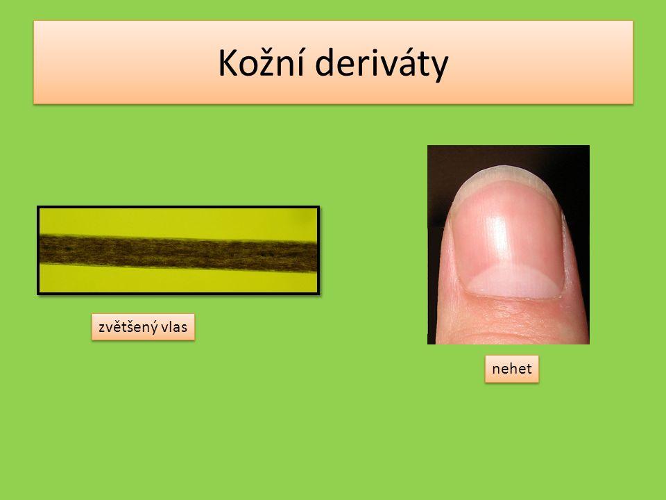 Podkožní vazivo pružné, ukládá se v něm tuk nejvíce nervových zakončení je na rukou – dlaních a konci prstů nejméně na zádech tělíska v kůži – dotyk, tlak, teplo, chlad, bolest Vater-Paciniho tělísko Ruffiniho tělísko