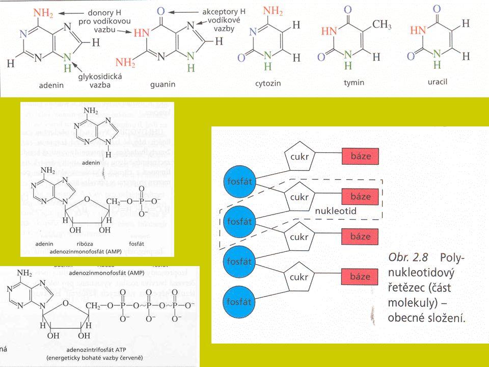 Homeostáza organismu Zajištění stálosti vnitřního prostředí pro průběh základních životních procesů – nutnost řízení aktivity orgánů a tkání s cílem minimalizace změn ve vnitřním prostředí (dynamická rovnováha) Energetika Základní vlastnost živé hmoty – potřeba energie Získávání: tvorba a využití stávající organické hmoty: enzymatický rozklad organických látek Všechny životní děje – neustálá přeměna energie Dvoustupňová cesta: energie z živin transport glukózy → ATP v buňkách štěpení ATP → uvolnění energie (vlastní metabolismus) Odpad: ztrátové teplo Řízení látkové přeměny