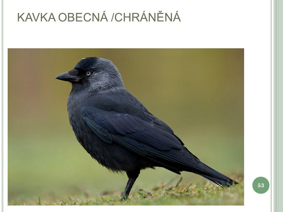 KOBYLKA ZELENÁ 54