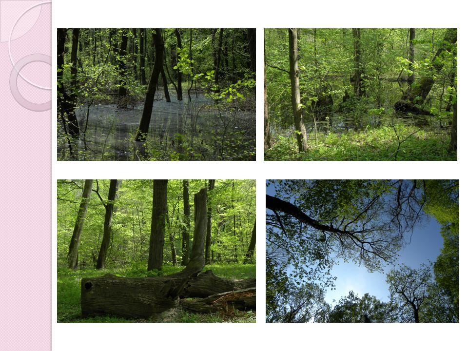 Zdroje: foto Jaroslav Minařík František Straňák - pořídili fotografie za účelem vytvoření výukového materiálu o lužním lese a Břeclavsku MIKULICA, Vladimír, Josef ŠLANCAR a Metoděj ZEMEK.