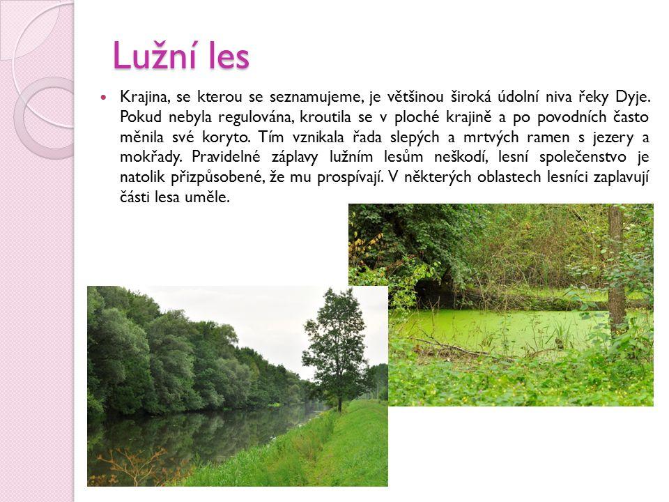 Lužní les je vlastně přírodní nástroj k regulaci povodní.