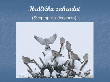 (Streptopelia decaocto)