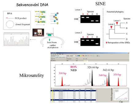 Mikrosatelity SINE. A G Single nucleotide polymorphisms (SNPs) SNPs : nuclear genome (consensus)
