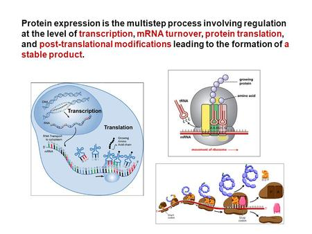 Protein expression is the multistep process involving regulation at the level of transcription, mRNA turnover, protein translation, and post-translational.
