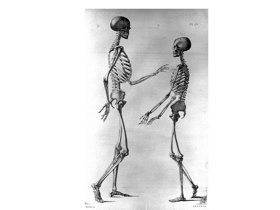 Kostra lidského těla je tvořena : 1.kostrou hlavy 2.kostrou trupu 3.kostrou horních končetin (HK) 4.kostrou dolních končetin (DK)