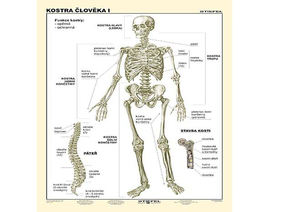 Kostra hrudníku hrudník je tvořen :žebry hrudní kostí hrudními obratli Žebra  jsou to protáhlé,obloukovité kosti  kloubně spojené s obratli a na přední části jsou připojeny žeberní chrupavkou k hrudní kosti