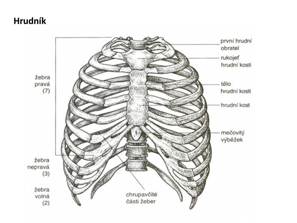 Funkce hrudníku  hrudní koš tvoří kostěný obal (schránku) pro hrudní orgány  upínají se na něj zádové, krční a břišní svaly  podílí se na dýchání (díky mezižeberním svalům)