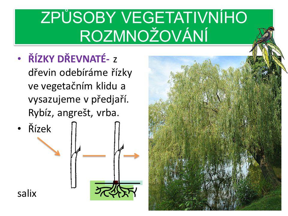 ZPŮSOBY VEGETATIVNÍHO ROZMNOŽOVÁNÍ • ŘÍZKY DŘEVNATÉ- z dřevin odebíráme řízky ve vegetačním klidu a vysazujeme v předjaří.