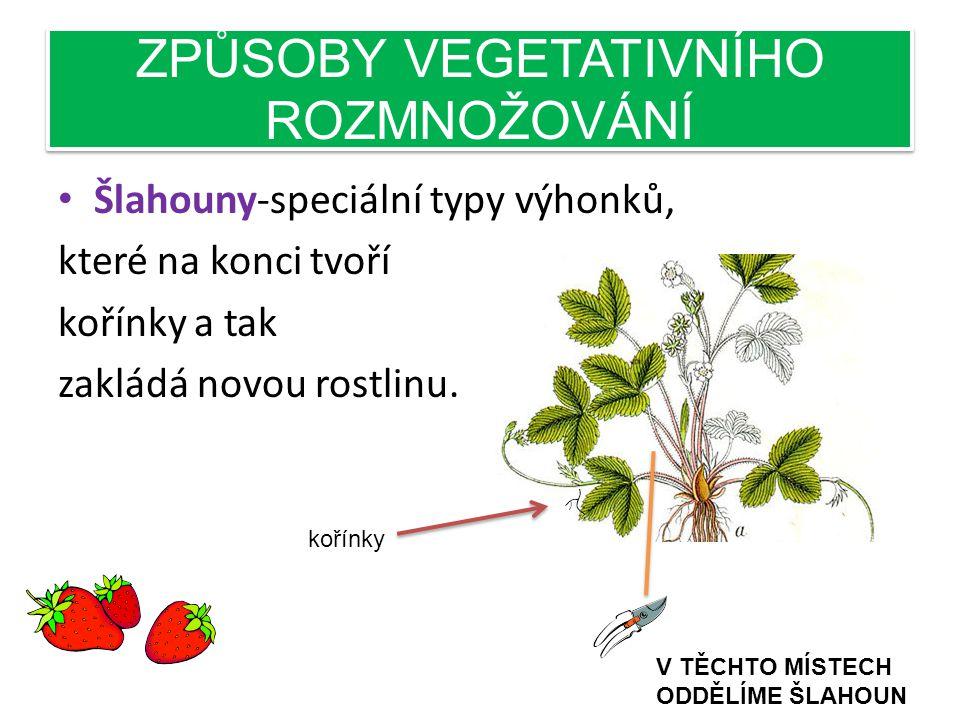 ZPŮSOBY VEGETATIVNÍHO ROZMNOŽOVÁNÍ • Šlahouny-speciální typy výhonků, které na konci tvoří kořínky a tak zakládá novou rostlinu.