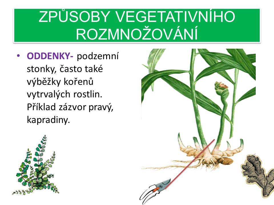 ZPŮSOBY VEGETATIVNÍHO ROZMNOŽOVÁNÍ • ODDENKY- podzemní stonky, často také výběžky kořenů vytrvalých rostlin.