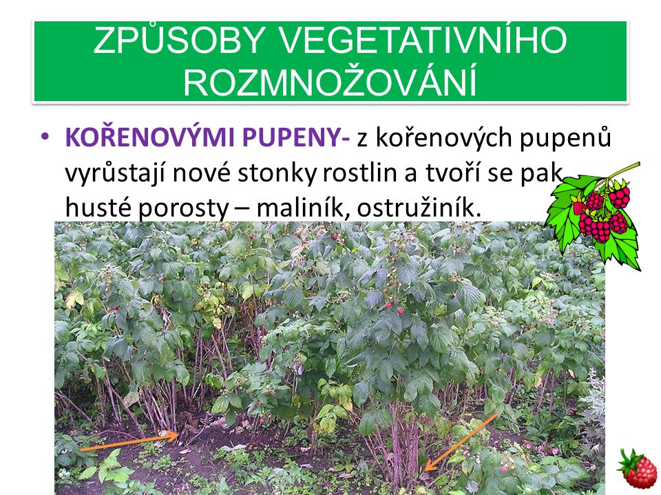 ZPŮSOBY VEGETATIVNÍHO ROZMNOŽOVÁNÍ • KOŘENOVÝMI PUPENY- z kořenových pupenů vyrůstají nové stonky rostlin a tvoří se pak husté porosty – maliník, ostružiník.