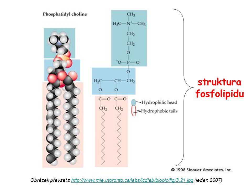 Obrázek převzat z http://web.indstate.edu/thcme/mwking/lipid-synthesis.html#phospholipids (leden 2007)http://web.indstate.edu/thcme/mwking/lipid-synthesis.html#phospholipids sfingosin ceramid = sfingosin s mastnou kyselinou, navázanou amidovou vazbou