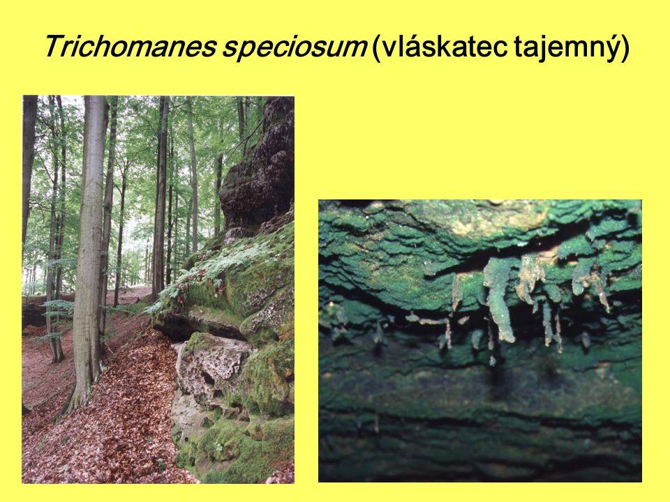 Mechorosty přílohy II směrnice o stanovištích v ČR mozolka skalní - Mannia triandra1 dvouhrotec zelený - Dicranum viride2 srpnatka fermežová - Hamatocaulis vernicosus16 šikoušek zelený - Buxbaumia viridis 14