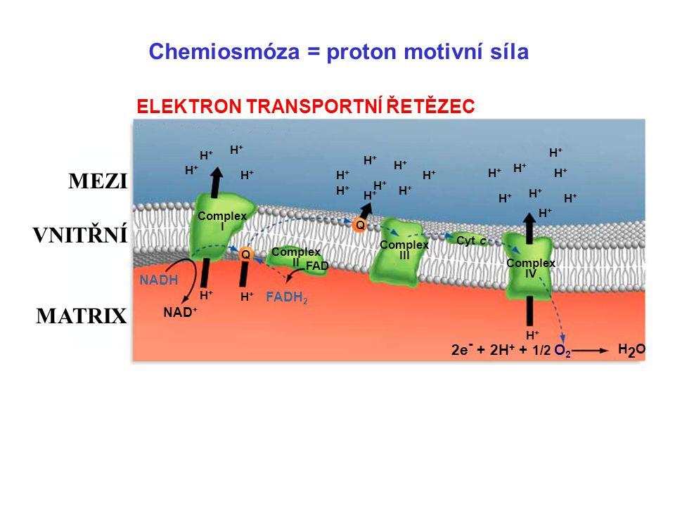 Jak mitochondrie generuje chemickou energii z živin?