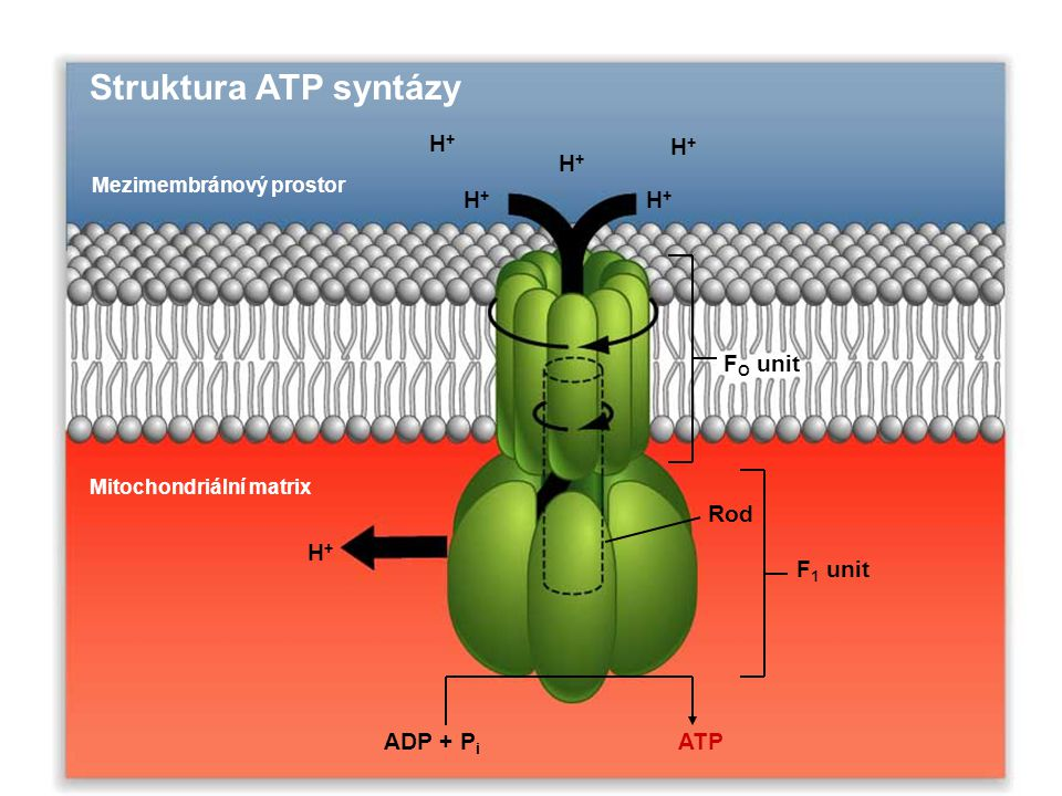 hydrolýza ATP  ADP + P i  G o ' = -30.5 kJ/mol 38 ATP x –30.5 kJ/mol = - 1,160 kJ/mol -1,160 kJ/mol X 100 = 40 % -2840 kJ/mol úplná oxidace Glukóza  CO 2 + H 2 O  G o ' = -2840 kJ/mol Výtěžek: Hlavně redukované koenzymy