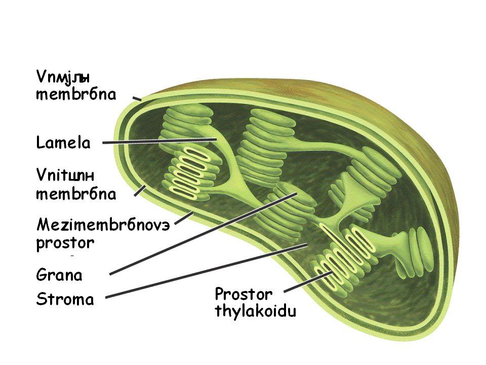 Chloroplast - fotosyntetická organela eukaryot