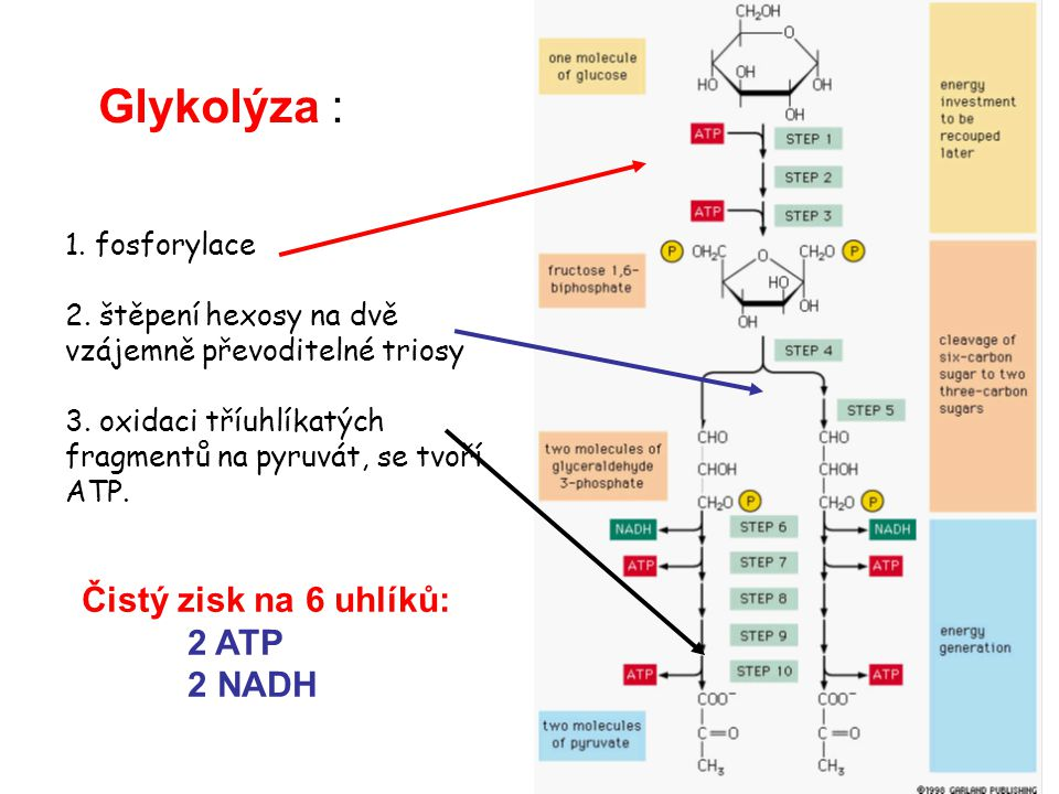 Oxidace glukosy Glucose 2 NADH 2 ATP 2 Pyruvate CytoplasmMitochondrion 2 NADH 2 CO 2 2 Acetyl CoA Krebs cycle 2 ATP 4 CO 2 6 NADH 2 FADH 2