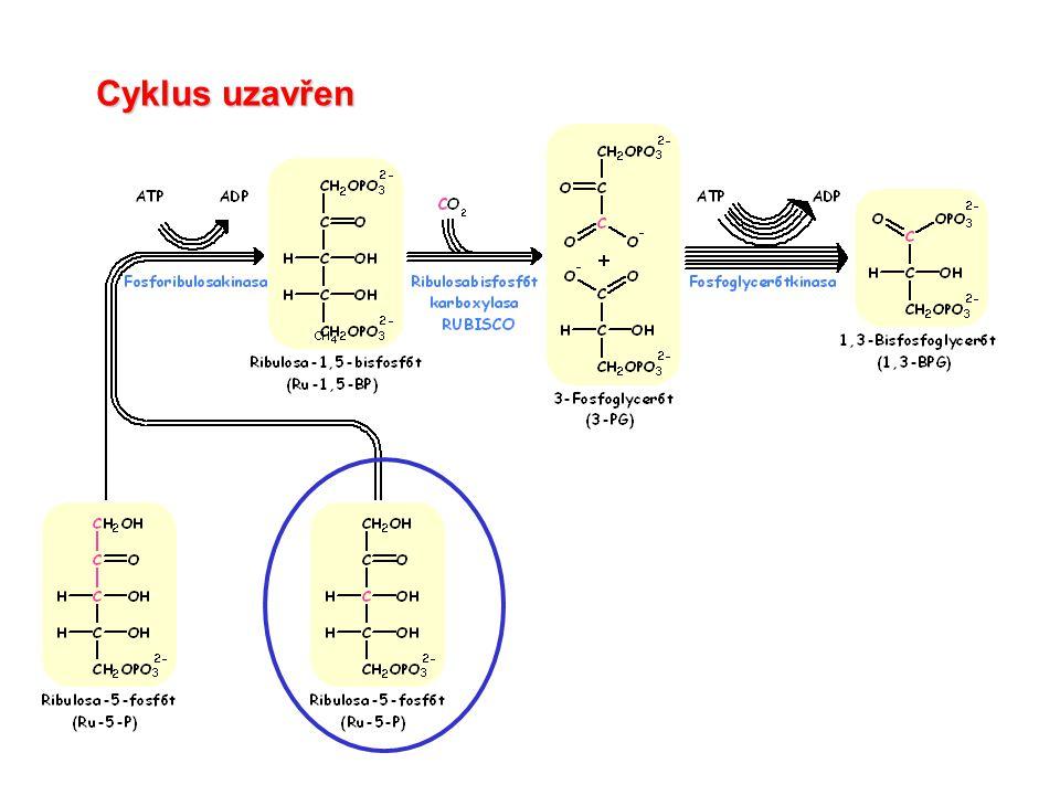 Biosyntéza sacharidů: Celková stechiometrie Calvin-Bensonova cyklu: 3 CO 2 + 9 ATP + 6 NADPH  GAP + 9 ADP + 8 Pi + 6 NADP + Vytvořený GAP může být využit k řadě biosyntéz, buď vně nebo uvnitř chloroplastu.