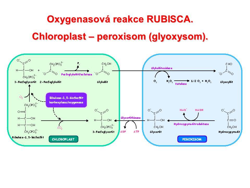 Oxygenasová reakce RUBISCA. Peroxisom – mitochondrie.
