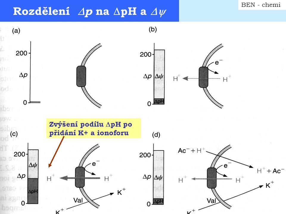 Určení stechiometrie H+/0 BEN - chemi Pulsní kyslíková metoda: přídavek malého množství O 2 k anaerobní suspenzi MTCH – sledování změny pH rychlou elektrodou Extrapolace na hodnotu bez průsaku H + membránou během aerobní fáze