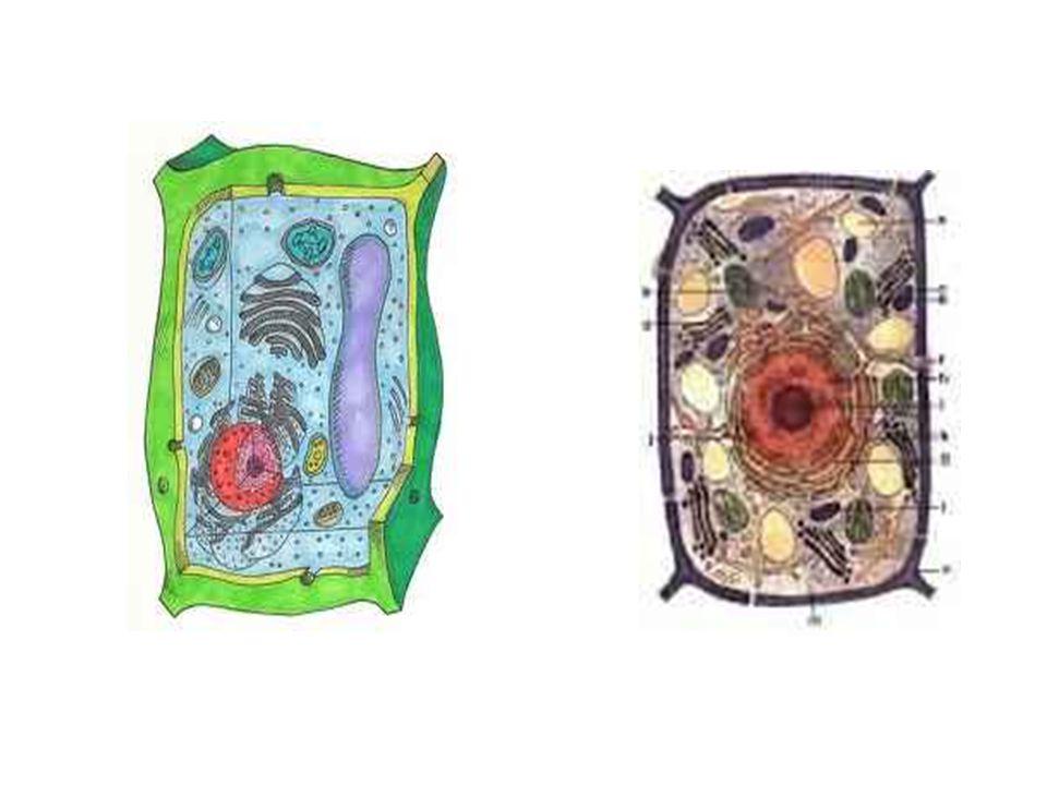 Stavba rostlinné buňky povrch = buněčná stěna – zpevňuje a chrání b.