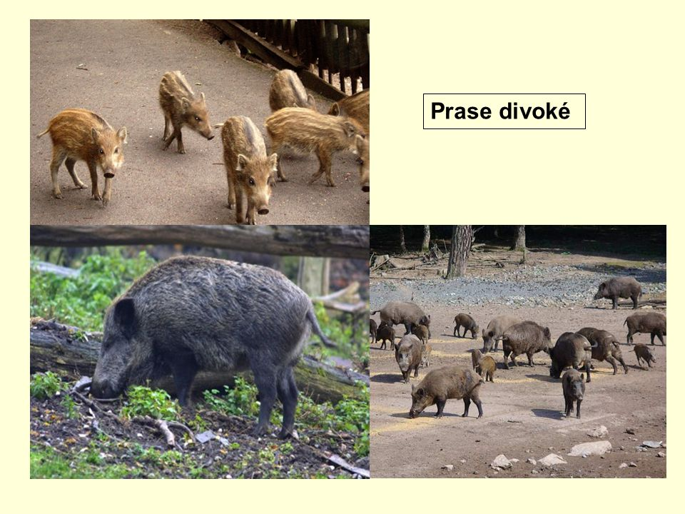2.Šelmy Na rozdíl od býložravců se živí převážně masitou potravou.