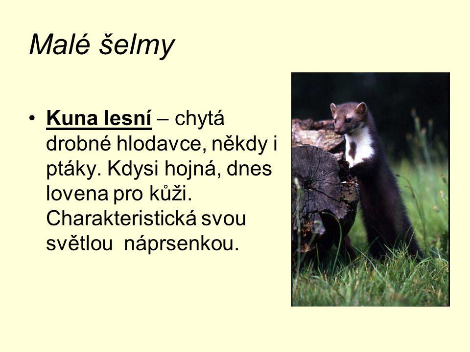 Malé šelmy Liška obecná – loví myši a jiné drobné živočichy, charakteristická zrzavá barva.