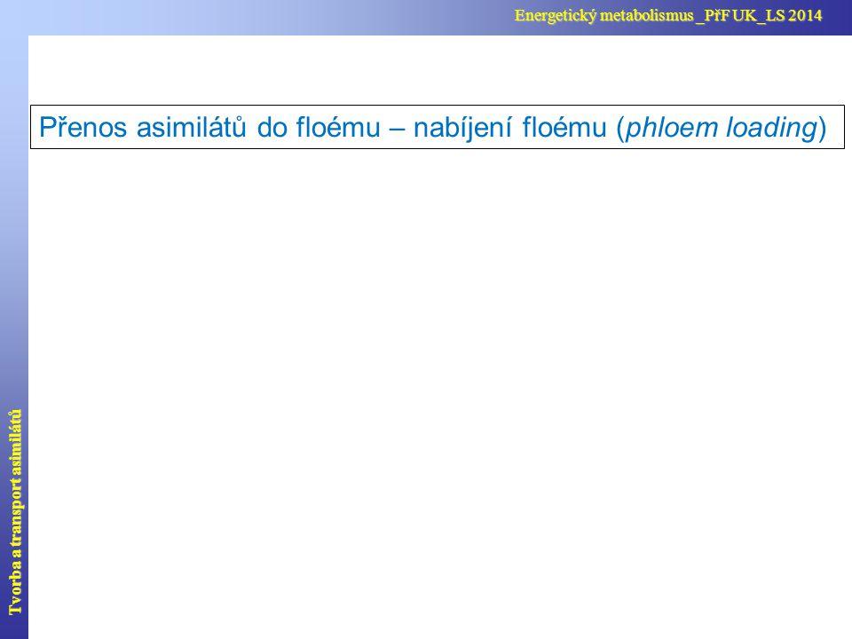 Přenos asimilátů do floému – plnění floému (phloem loading) Zde je znázorněn příklad nabíjení v asimilujícím listu.