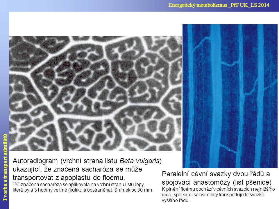 Nevyřešené problémy: a) symplastového plnění - v sítkovicích je větší koncentrace cukrů než v buňkách mezofylu.