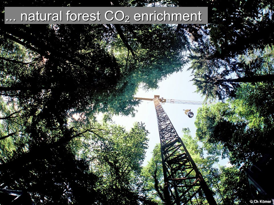 Annual carbon increment in wood (kg C m - 2 ground) Oren R et al (2001) Nature 411:469; MC Carthy & R Oren, unpubl.