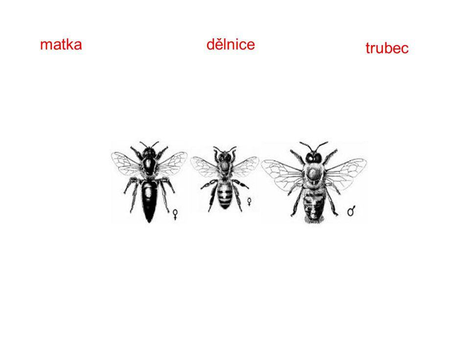 Význam včel Úkol: 1.Opylování květů 2.Získávání včelích produktů (med, vosk, propolis, mateří kašička, jed)