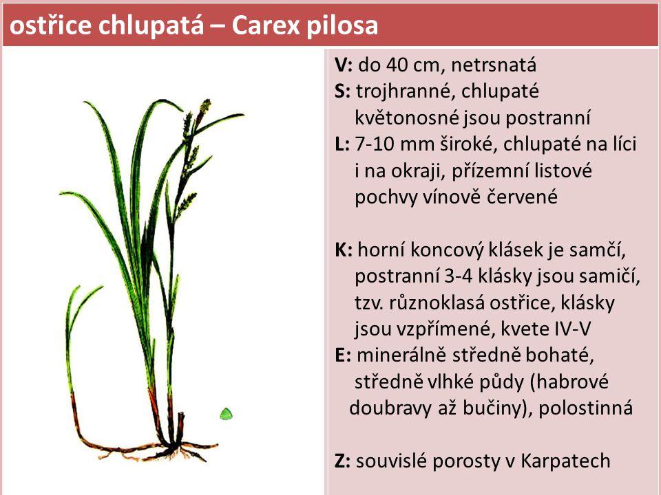 ostřice lesní – Carex sylvatica V: do 60 cm, hustě trsnatá S: trojhranné L: 7-10 mm široké, na okraji lysé, pochvy dolních listů šedé až nahnědlé K: různoklasá ostřice, samičí klásky (3-5 ks) dlouze stopkaté a převislé kvete V-VI E: minerálně středně bohaté až bohaté, vlhké půdy (potoční luhy, prameniště, olšiny, jedlobučiny), polostinná Z:
