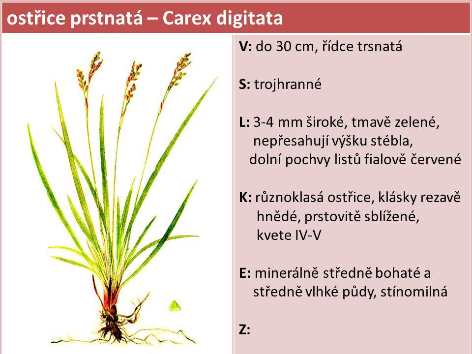 ostřice oddálená – Carex remota V: do 50 cm S: tenké, trojhranné, poléhavé L: 1,5-2 mm široké K: stejnoklasá ostřice, klásky drobné a velmi oddálené, podepřené dlouhými listeny, kvete V-VI E: minerálně středně bohaté až bohaté, vlhké půdy (luhy, olšiny, prameniště, podél toků), polostinná až světlomilná Z: