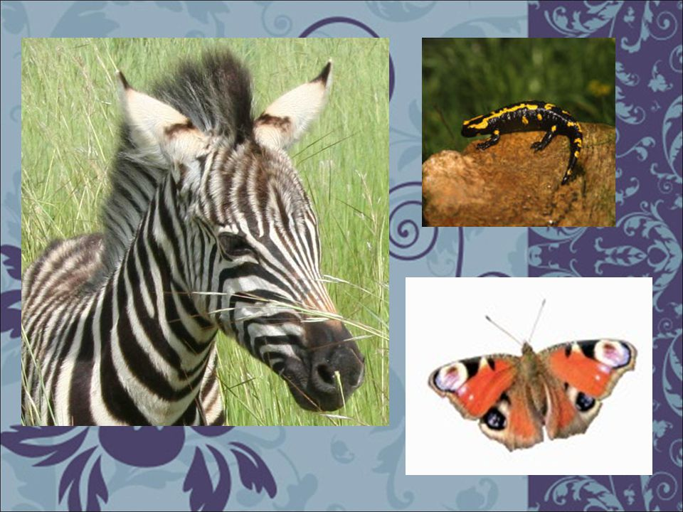 V praxi je složité rozdělit sémantické a kryptické zbarvení – Často se vyskytují na jednom živočichovi (na jedné části těla jedno, na jiné to druhé, nebo může být v klidové poloze skryté)