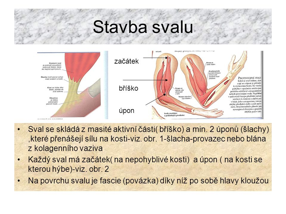 Druhy kontrakcí Svaly v lidském těle nejsou zcela ochablé, ale jsou v pohotovostním stavu- tzv.