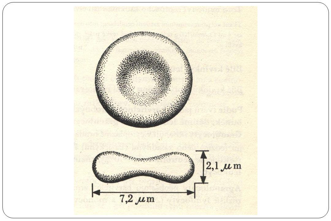 Červené krvinky – erytrocyty Funkce: přenos O 2 a CO 2 počet 4-5 milionů/mm 3 (4,5 – 5∙10 12 na litr krve) Krevní buňky