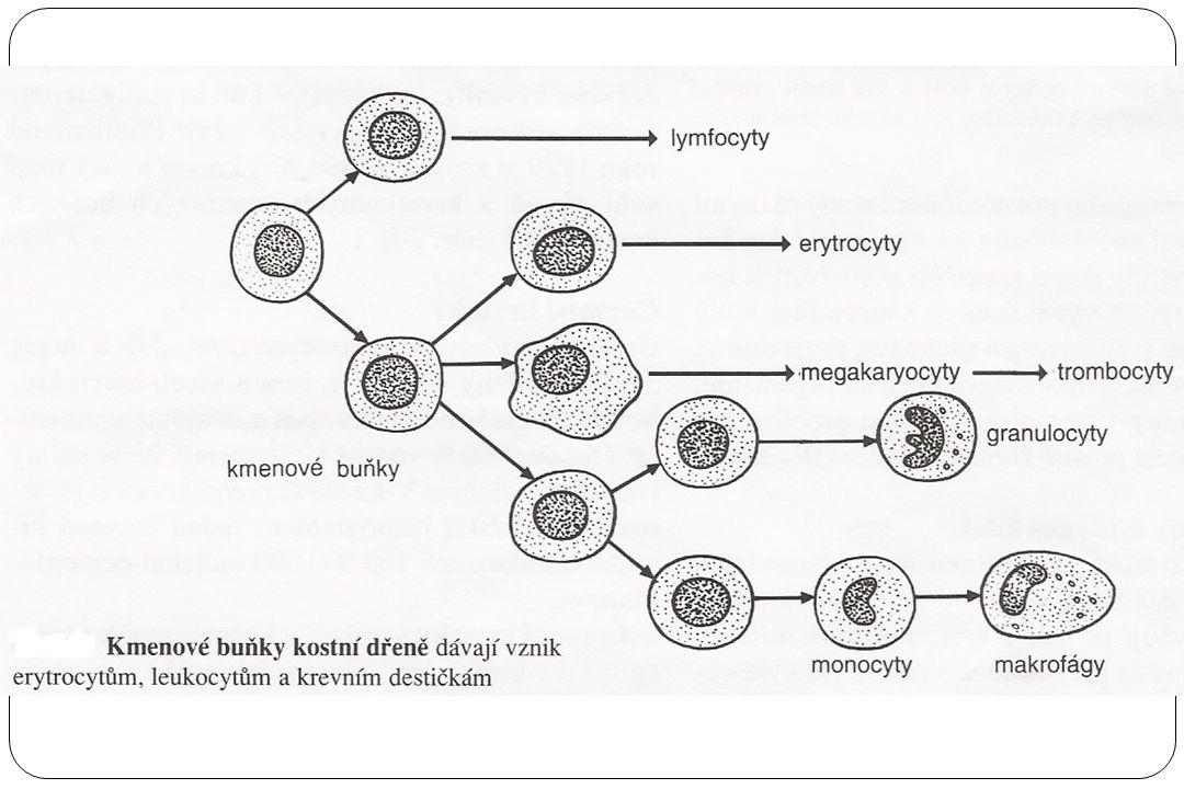 Červené krvinky – erytrocyty Zánik: v buňkách sleziny a jater (vychytány fagocytujícími buňkami) hemolýza hemoglobin → bilirubin, biliverdin Krevní buňky