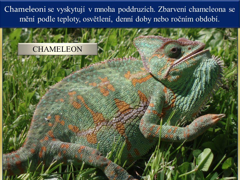 Oči chameleona jsou po stranách těla kryty polokulovitými vypouklými víčky, která jsou srostlá s okem.