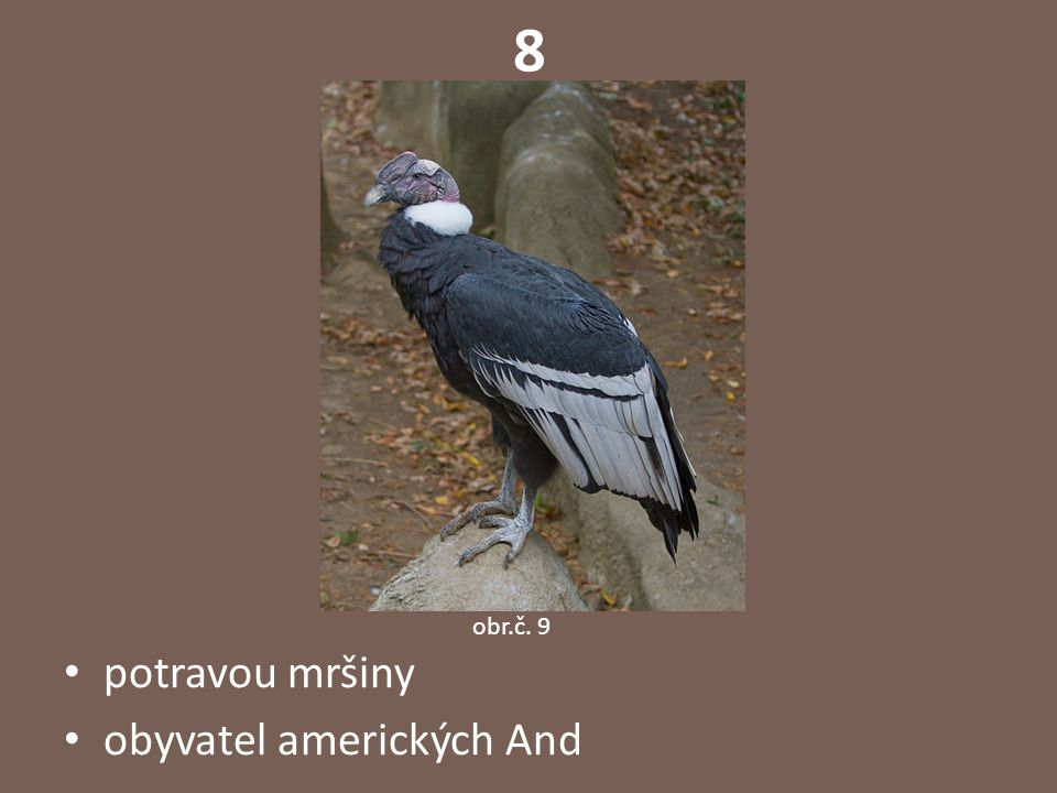 """9 """"létající drahokam -malý nápadně zbarvený pěvec umí létat pozpátku i stát ve vzduchu na místě potravou nektar rostlin obr.č."""