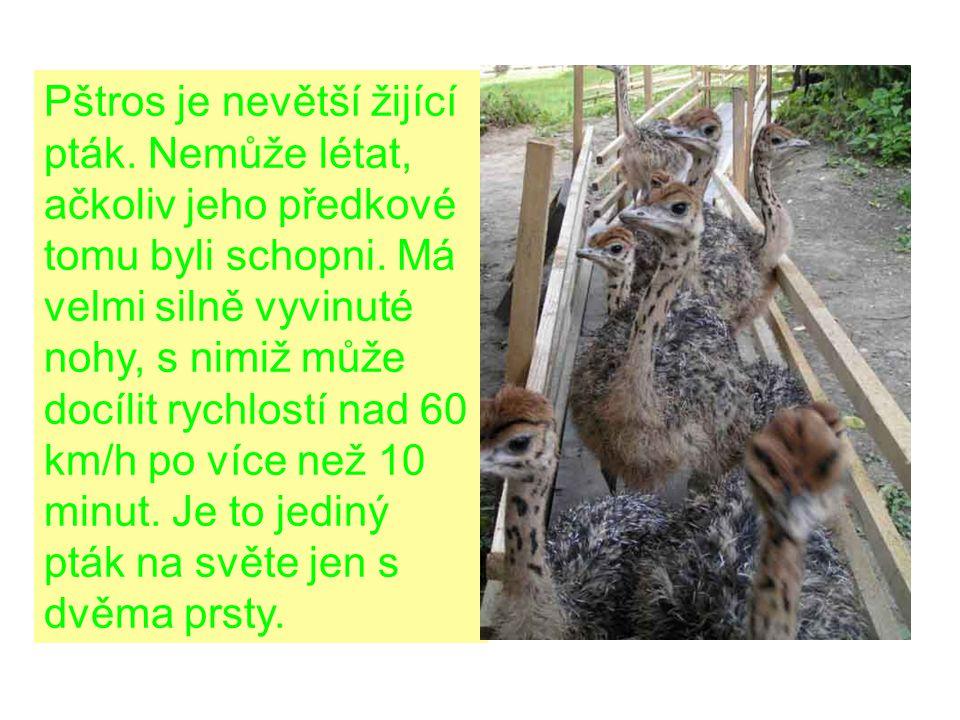 Tělesné míry pštrosa Výška 2,10 - 2,50 m Délka krku 90 - 95 cm Hmotnost 105 - 125 kg Rychlost až 60 km/h Nosnost na hřbetu až 60 kg Výška kolenního kloubu 98 - 109 cm