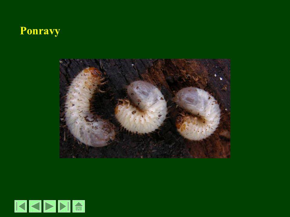 Sviluška chmelová – Tetranychus urticae podtřída roztoči - Acarina -velikost 0,4 – 0,6 mm -zbarvení zelené až šedozelené -přezimují oranžové až červené samičky -ve sklenících se množí kontinuálně, bez přezimování -sají na listech, tvoří se nejdříve světlé skvrnky, později bělají a zasychají, rostliny jsou opředeny pavučinkou -polyfágní -má 7-9 generací venku, -až 20 ve sklenících